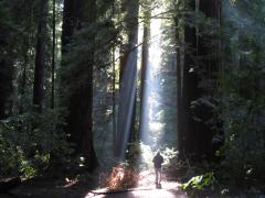 Photo : Forêt de Sequoias Red Wood avec un promeneur