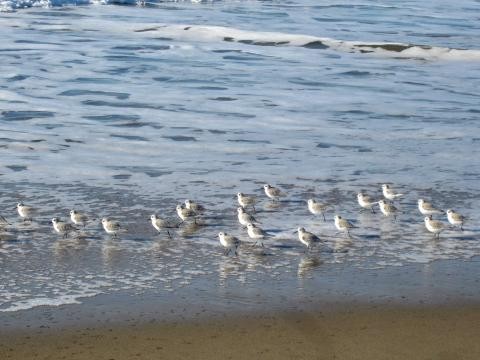 Photo : Oiseaux Snowy Plover sur la plage