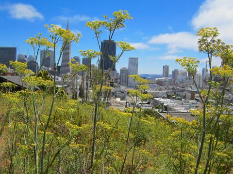 Photo : vue sur le downtown avec fenouils sauvages au premier plan