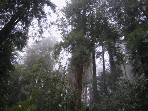 Photo : Les Séquoias Red Wood sont les arbres les plus hauts du monde